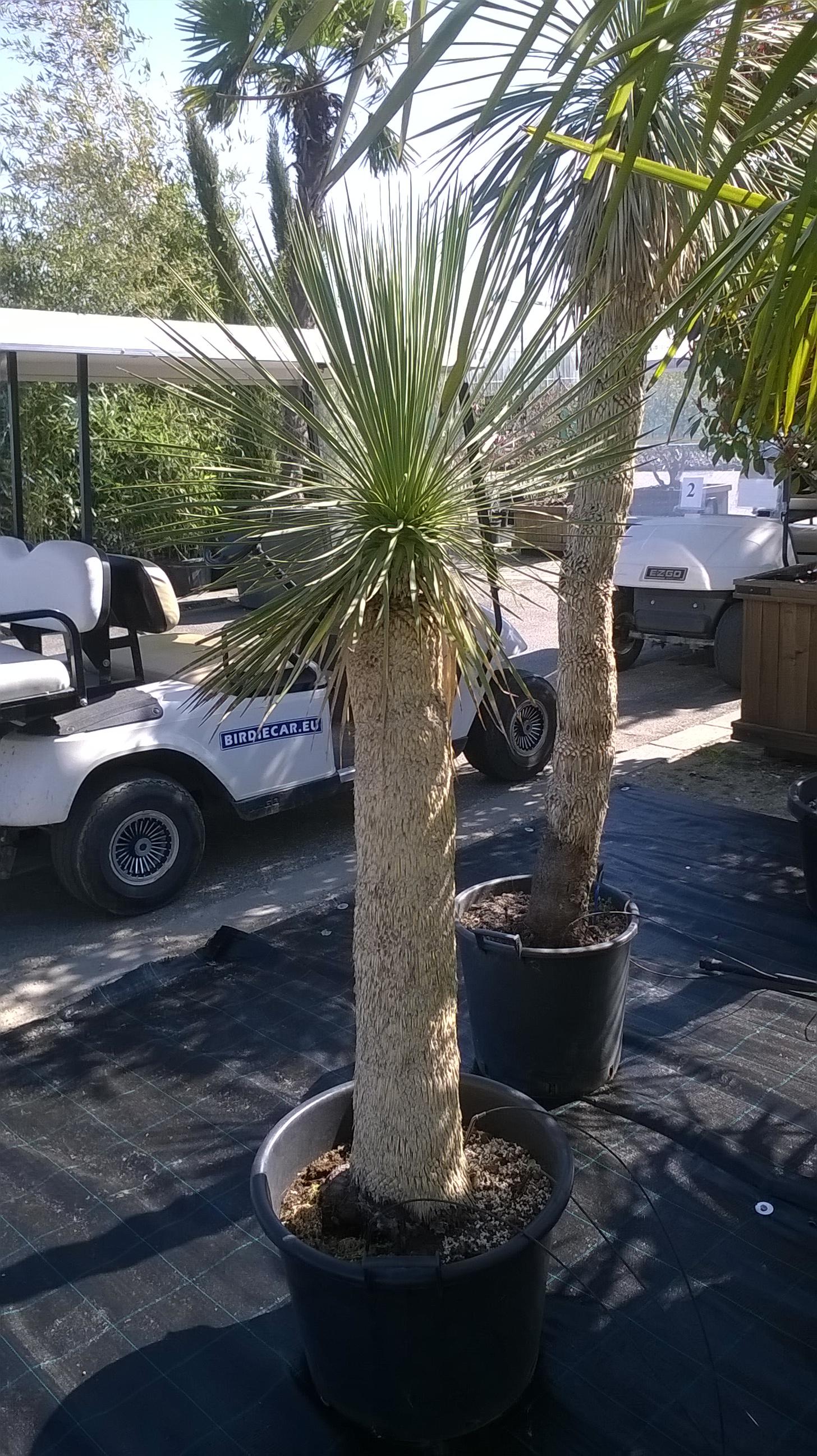 Yucca rostrata ( Sascs?r Yukka )