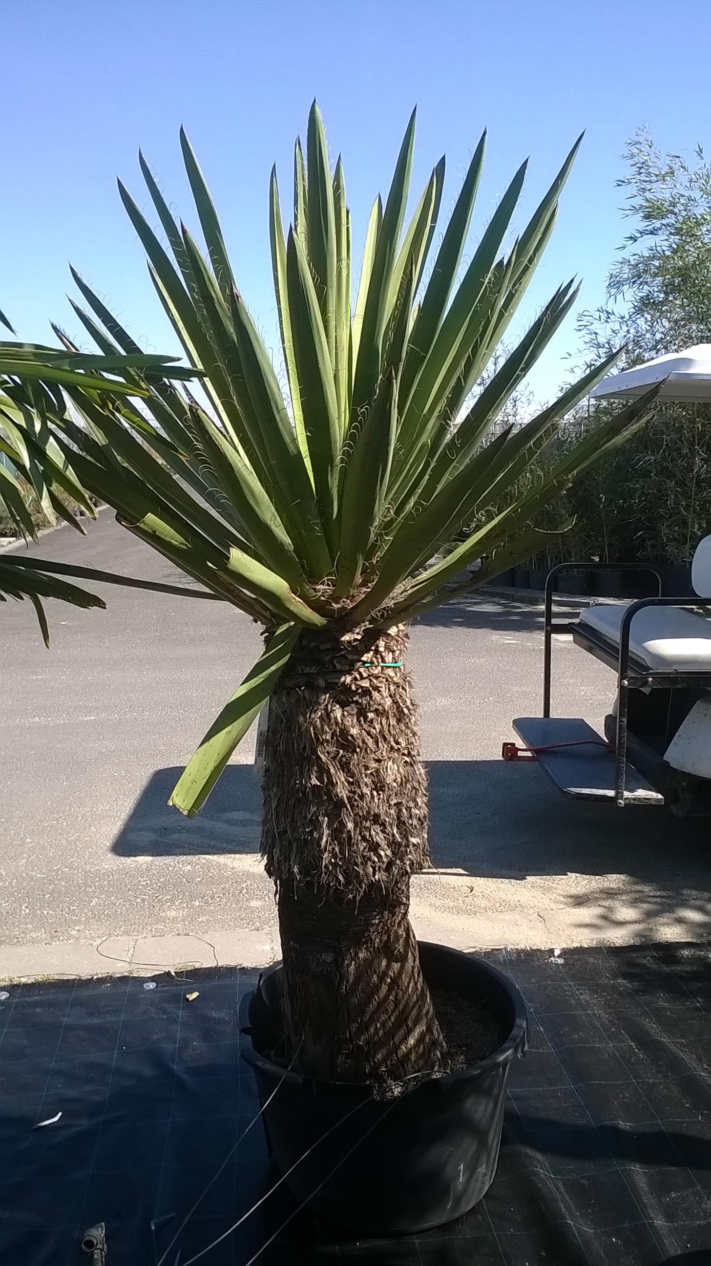 Yucca faxoniana ( Faxon jukka , Spanyol bajonett , Szent Péter pálmája )