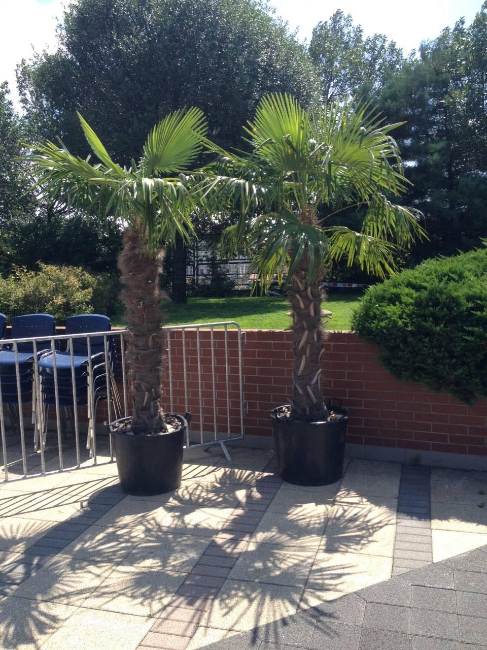 2 Trachycarpus fortunei ( Kínai kenderpalma )