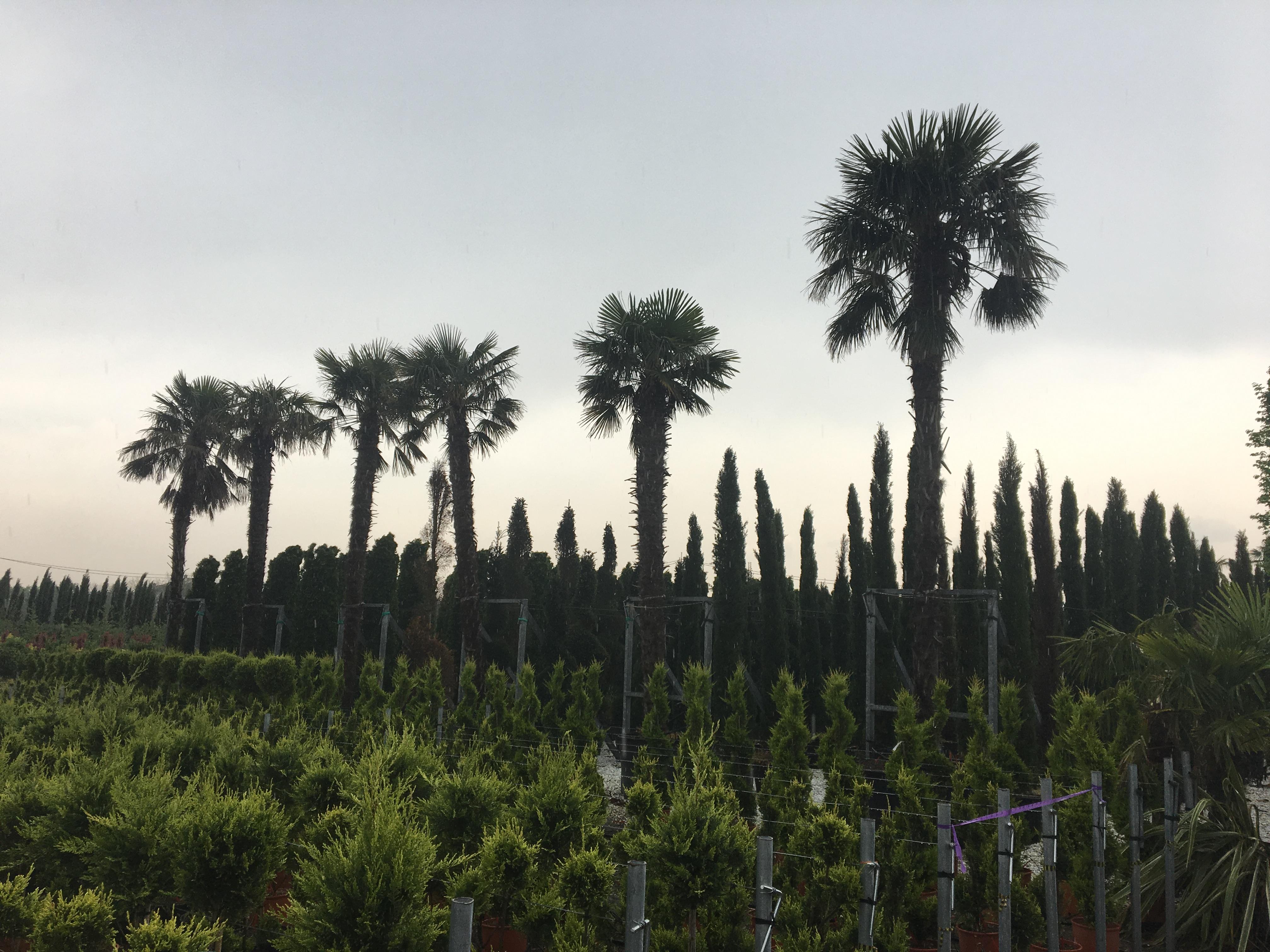 3 Trachycarpus fortunei ( Kínai kenderpalma ) ( készleten )