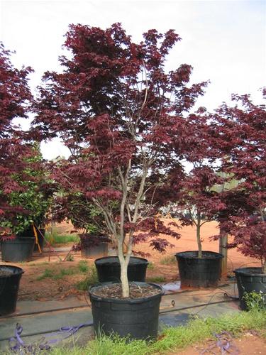 Acer palmatum Bloodgood ( Japán juhar )
