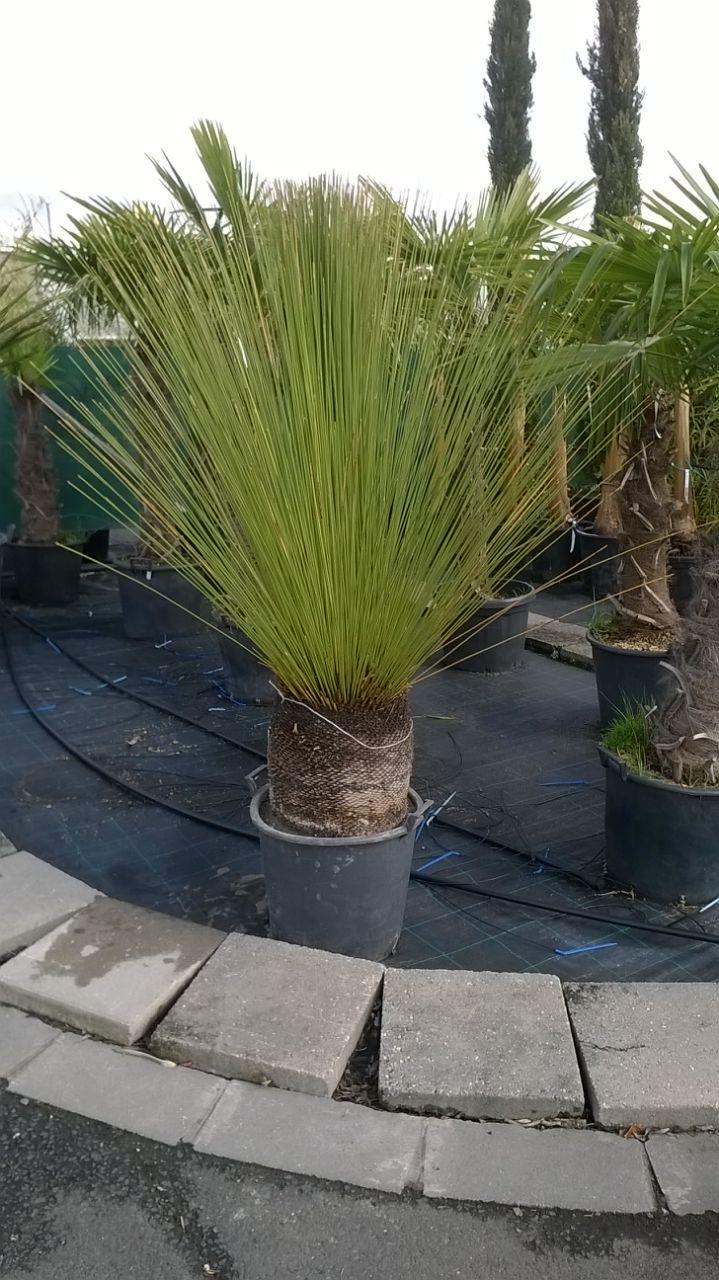 Dasylirion longissimum ( Mexikói f?pálma)