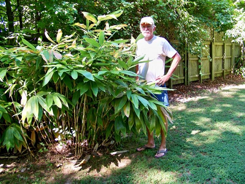 Sasa palmata ( Pálmalevelû bambusz , legyezôs törpebambusz )