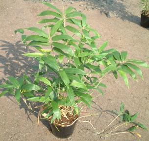 Sasa kurilensis ( Kuril szigeteki törpebambusz )