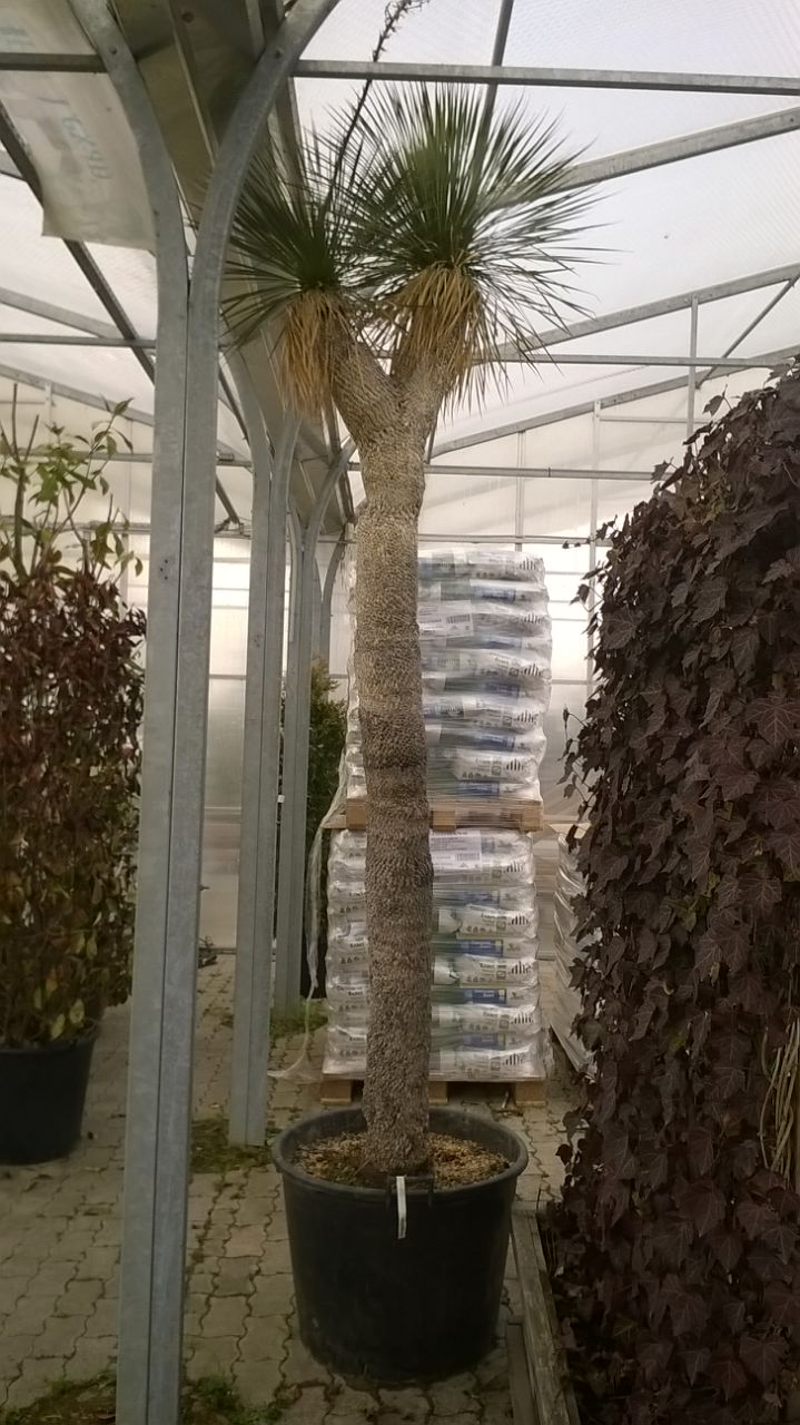 Yucca rostrata ( sascsôr yukka ) 2 fejû